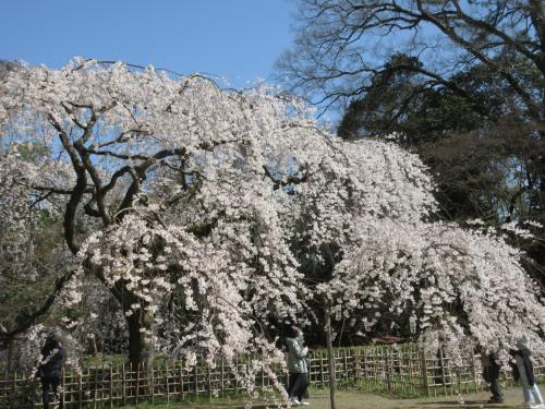 京都御苑の糸桜が得も言われず見事でした