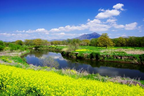 小貝川と菜の花 再訪
