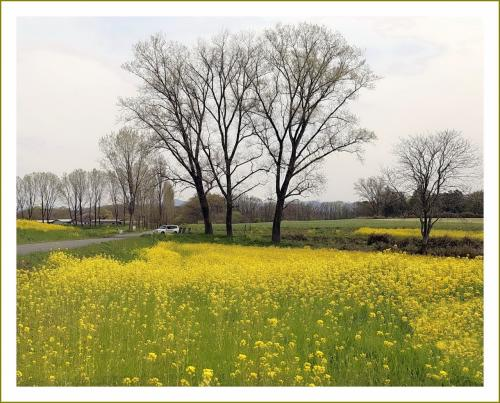 Solitary Journey[2058]牧歌的な景色が広がる七塚原高原、畑一面に菜の花♪があふれていた&芝桜<七塚原高原>/広島県庄原市