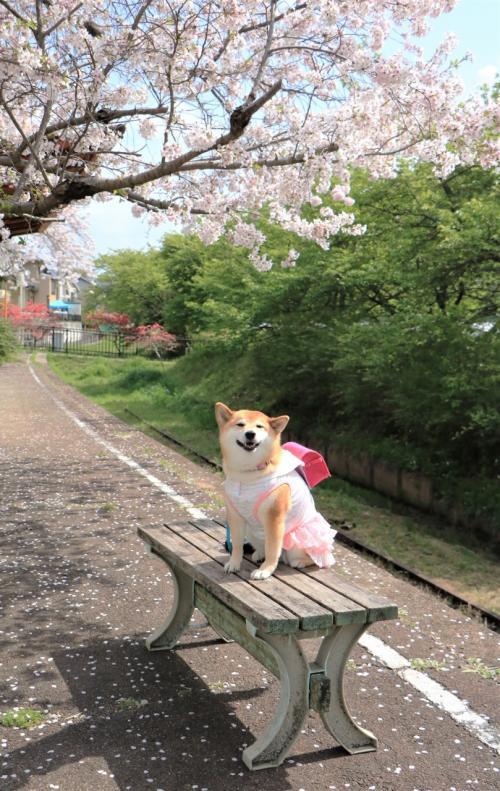 満開の桜も散り花も美しい♪稲武瑞龍寺の枝垂桜♪、旧三河線廃線跡の桜と笑うワンちゃん♪&平戸橋公園の桜♪
