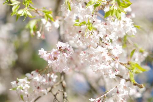 半木の道の枝垂桜は、葉桜多しでした 2021.4.11