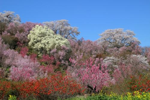 ◆百花繚乱~福島の桃源郷・花見山~花見山公園コース・その1