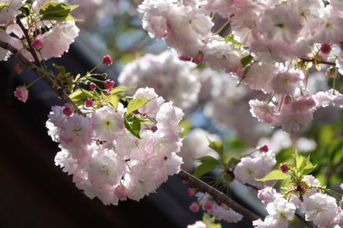 京都 平野神社・哲学の道 ツアー参加 2021 (一人ツアー)