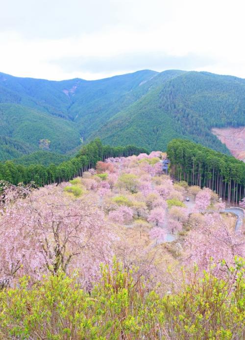 千本のしだれ桜が咲く桃源郷のような『高見の郷』