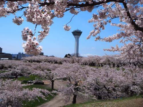 2021桜満開五稜郭