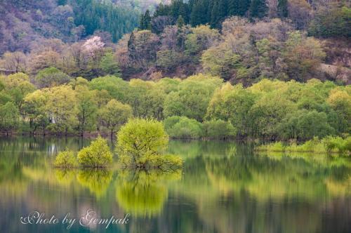 季節限定、新緑の水没林 ~白川湖~