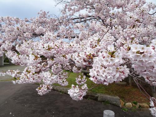定山渓~小樽ドライブ のんびりお花見☆