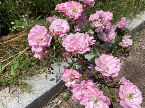 日本国花苑のバラ園に行く