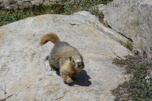 ナキウサギを探してセコイア国立公園の山の中へ