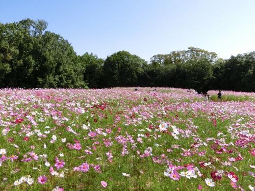 10月なのに真夏日が続いている、大阪万博記念公園 自然文化園・花の丘で「コスモス三昧の一日」を過ごす。(2021)
