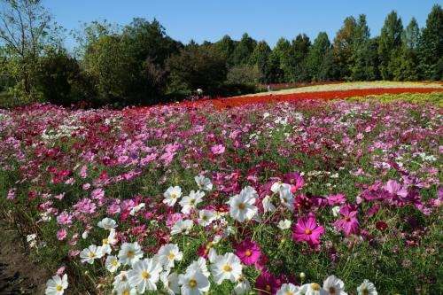 秋桜の備北丘陵公園と君田温泉・・・でした。