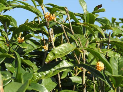 今頃開花している金木犀の生垣