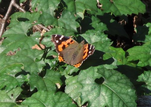 2021森のさんぽ道で見られた蝶(48)アカタテハ、キタテハ、ルリタテハ、ツマグロヒョウモン、キチョウ等