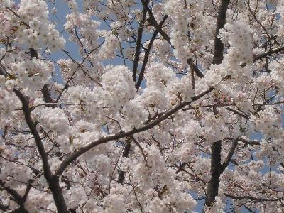 相模原の桜 − 2003