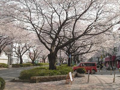 相模原の桜 − 2004