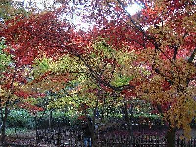 神代植物園 かえで園