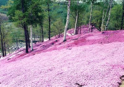 北海道/丘を彩る満開の芝桜見@知床プリンス(2001年5月)