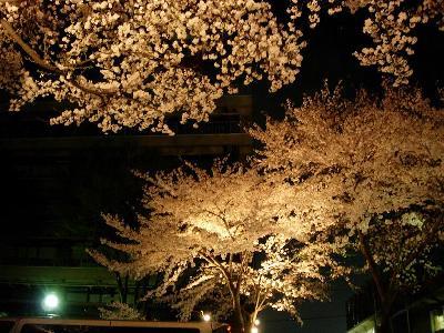相模原の桜 − 2005