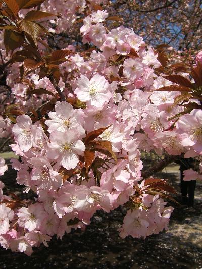 春爛漫・新宿御苑