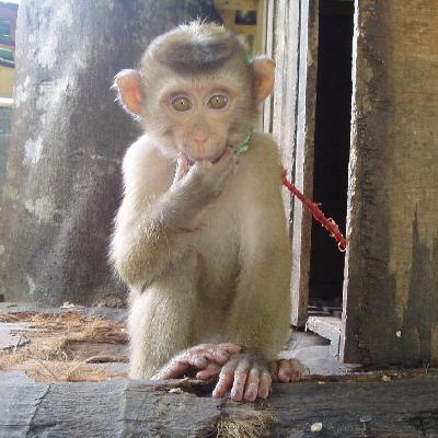 チェンマイは最高に面白い 90 メーリムの猿の学校は少々ドラマを感じるかもね・・