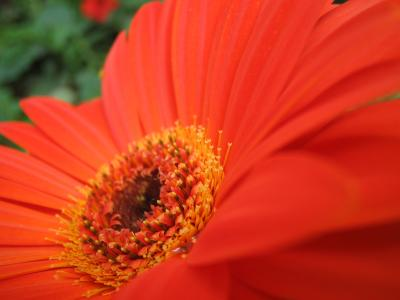 キャメロンハイランドのお花畑 1