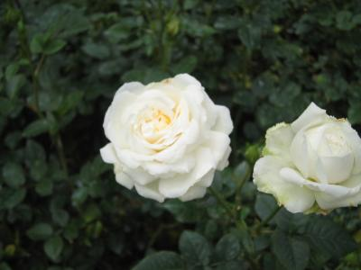 キャメロンハイランドのお花畑 2