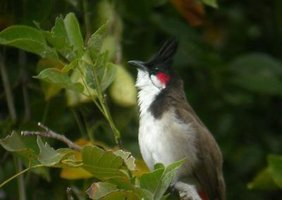 チェンマイは最高に面白い 113 タイの野鳥