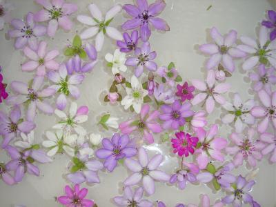 雪国の春を呼ぶ「柏崎大崎の雪割草の里」