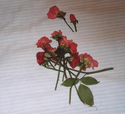 エジプトでの一夜 10月の薔薇 薔薇をめぐる旅