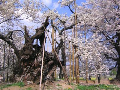2005年 樹齢1800年最古の巨木 山高神代桜