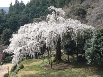 小田原長興山の枝垂れ桜