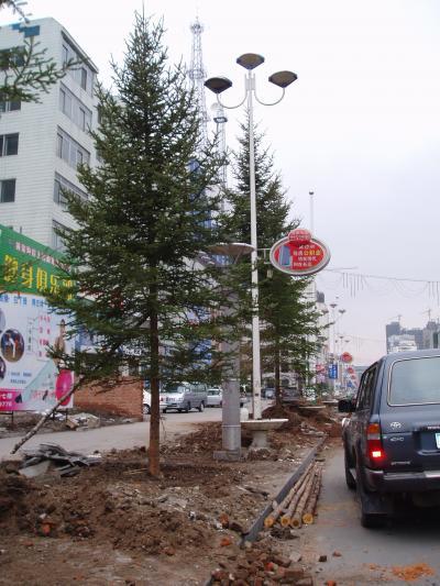 延吉 メインストリート松の木に変身!