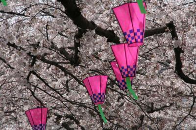 国立印刷局の桜。