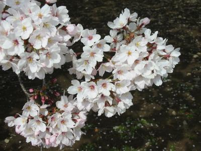 猫熊堂の、ご近所の桜・2006 <埼玉県深谷市・06/APR/06>
