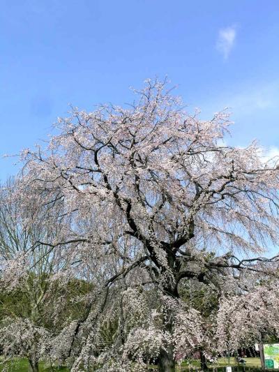 春爛漫の万博公園【2】枝垂桜(しだれざくら)は満開