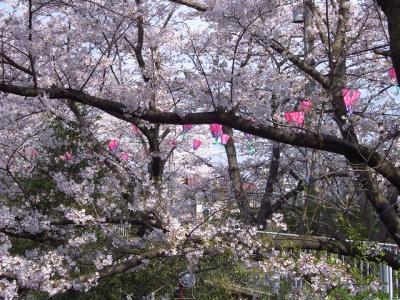 地元でお花見(桜)