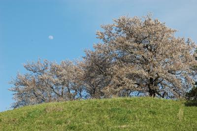 さきたま風土記の丘/意外に桜が咲いてます。