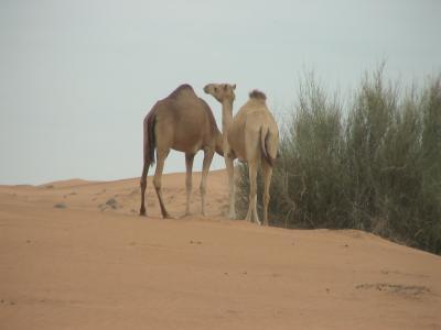 Dubai旅行 ラクダと砂漠