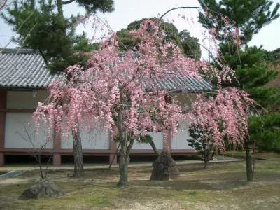 智積院から養源院の桜を楽しみました