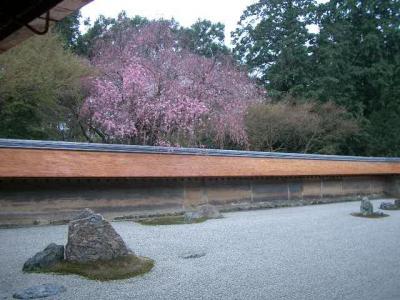 龍安寺の枝垂桜を見ることができました