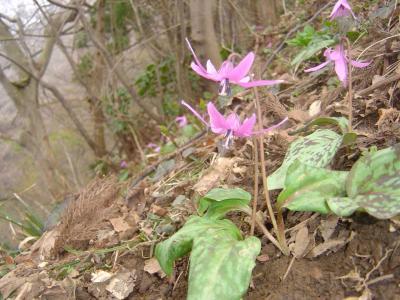 春の越後の山「角田山」標高481.7m