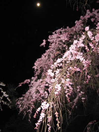 京都府立植物園 夜桜ライトアップ