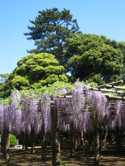 特別天然記念物のフジ in藤花園 ☆樹齢1200年の貫禄、華麗に・・