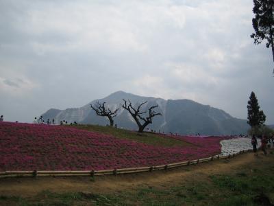 芝桜の丘~秩父羊山公園