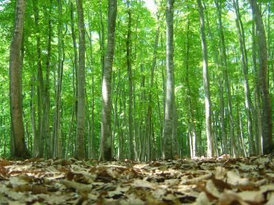 「新緑の美人林」