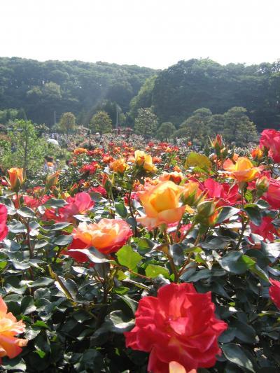 向ヶ丘遊園のバラ苑