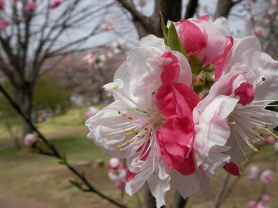 桃源郷と日本最古の桜(1)