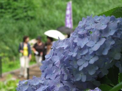 幸手市、権現堂の紫陽花、