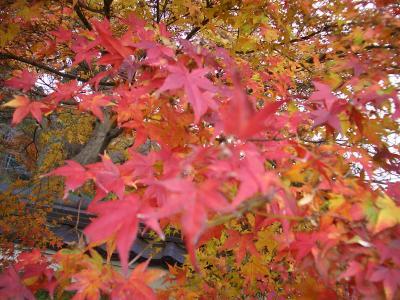 ギリギリ紅葉