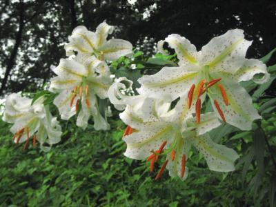 夏も花を狙いましょ@その1:武蔵嵐山・菅谷館跡のやまゆり